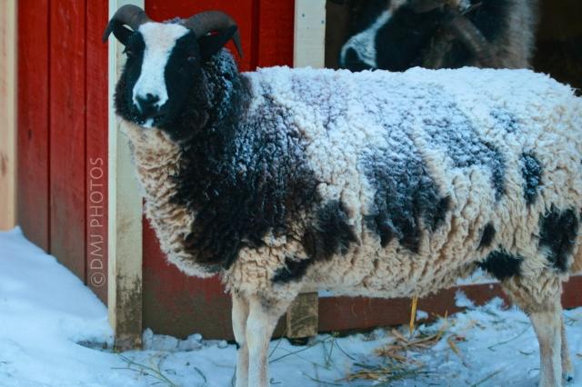 snowy-goat
