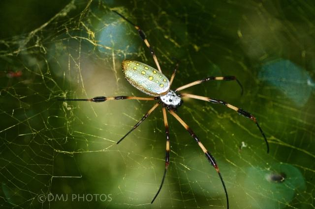 spider-back